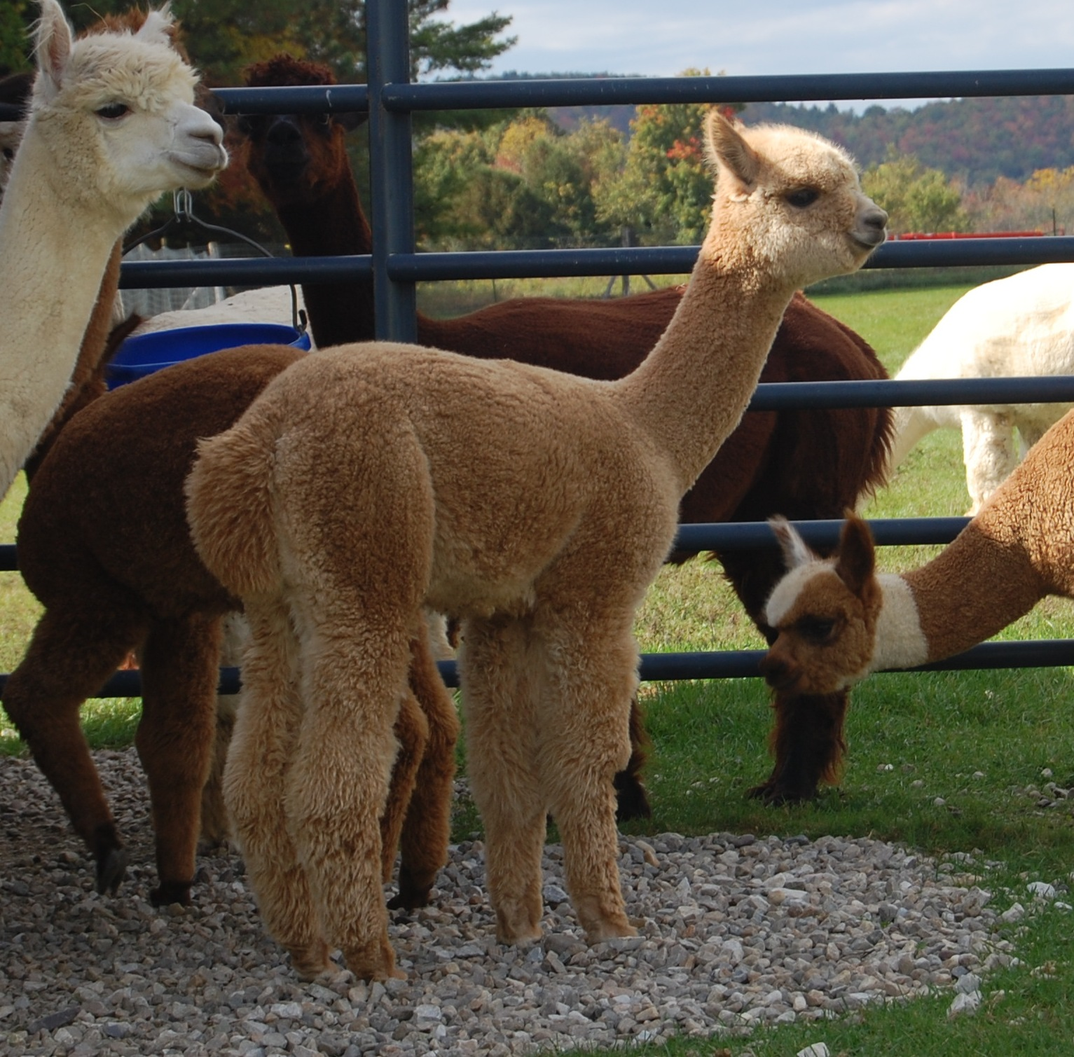 Archangel s essie maple view farm alpacas breeders of for Alpacas view farm cuisine